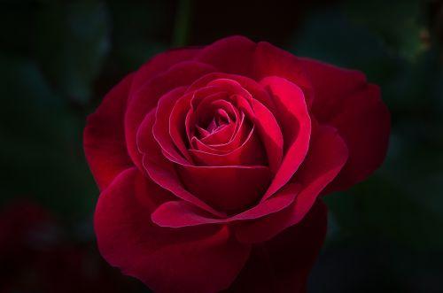 flower rose red