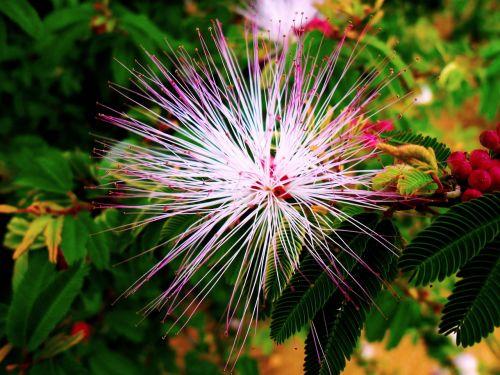 flower manacá garden