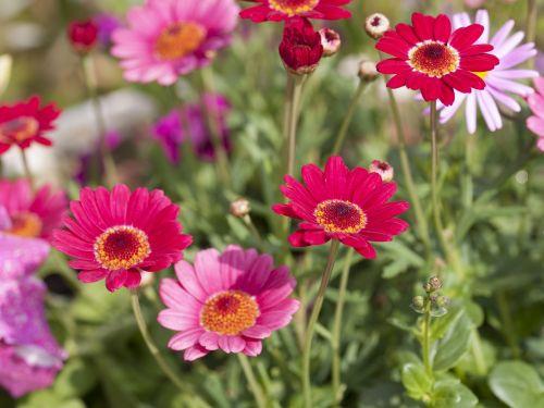 gėlė,vasarą,vasara,natūralus,rožinis,pavasaris,augimas,žiedlapis,spalva,gamta
