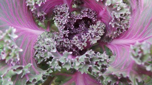 flower cabbage purple