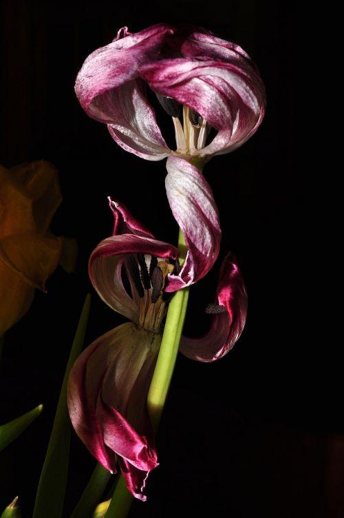 flower tulip purple
