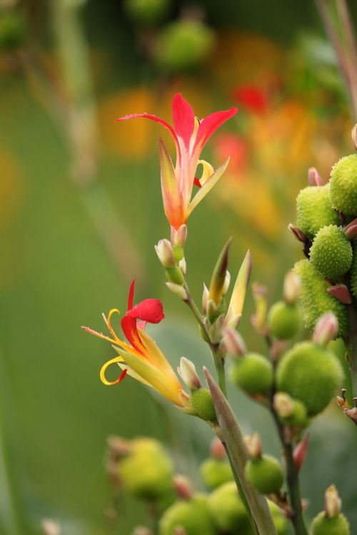 flower canna indica canna lilly