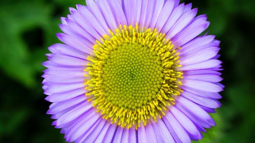 flower daisy floral