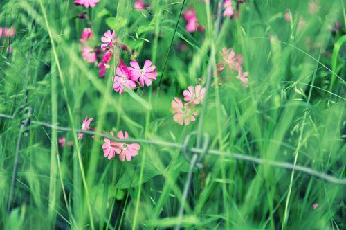 gėlė,lychnis,lauko gėlė,žydėti,žiedas,žolė,pavasaris,tvora,viela,rožinis,žalias