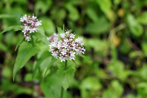 cicuta maculata flower plant