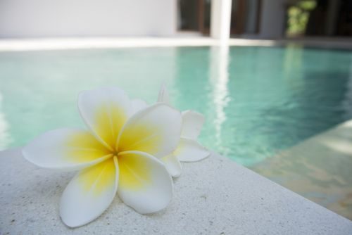 flower frangipani pool