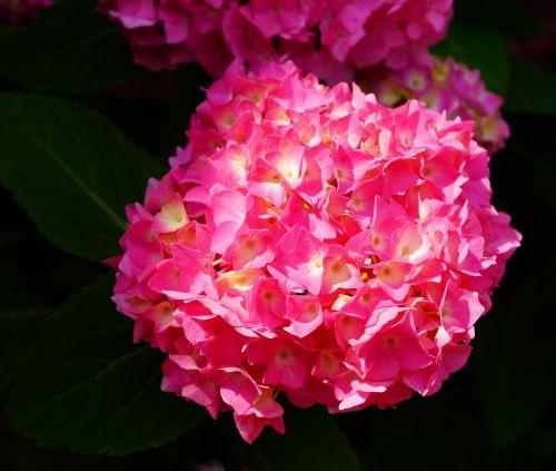 gėlė,žiedas,žydėti,hortenzija,augalas,gamta,Uždaryti,rožinis,intensyvi spalva,žydėti,vasaros pradžia,spalva,gyvybinga spalva