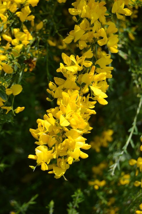 flower genista broom