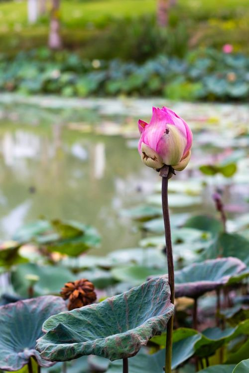 flower lotus write