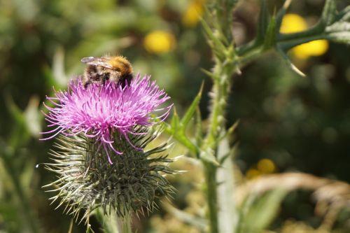 gėlė,drakonas,žiedas,žydėti,violetinė,gamta,makro,dygliuotas,augalas,Hummel,vabzdys