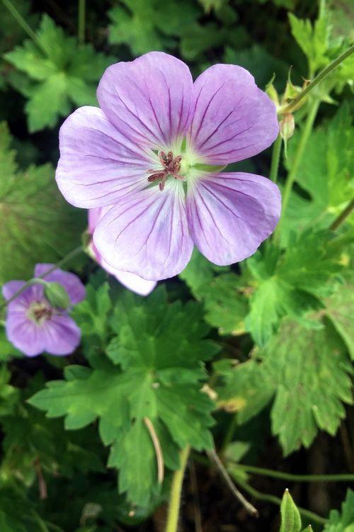 flower geranium maculatum geranium