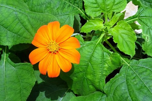 flower mexican sunflower tithonia