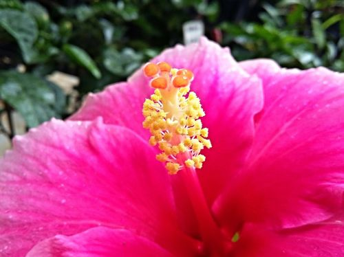 hibiscus flower nature