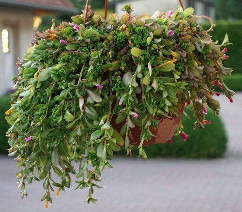 hanging plant hanging basket