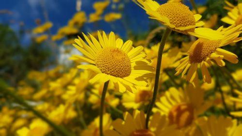 flower yellow marguerites yellow