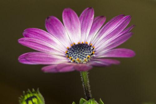 flower purple daisy