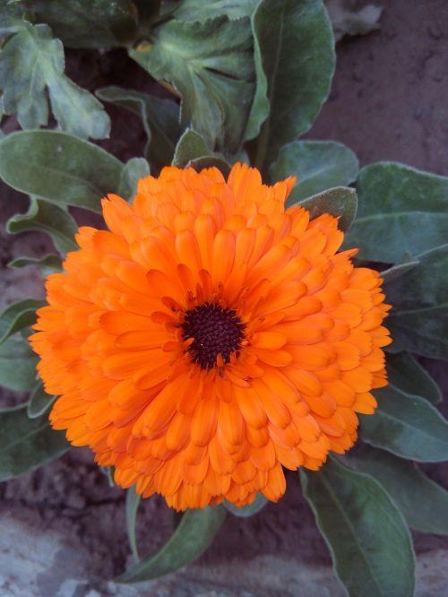 gėlė,žiedas,žydi,augalas,pavasaris,vasara,žiedlapiai,flora,gamta,oranžinė,gražus,žalia ir oranžinė,oranžinė gėlė