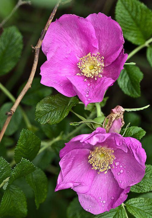 flower rose wild rose