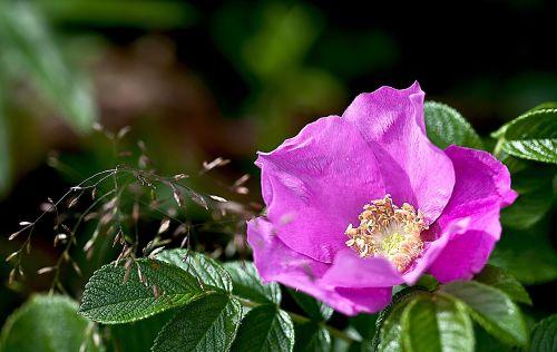 rose wild rose nature