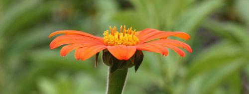 gėlė,oranžinė,oranžinės gėlės,žiedas,žydėti,gamta,augalas,gražus,geltona