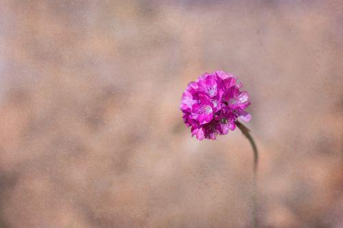 flower pink pink flower