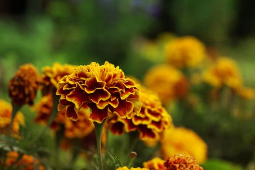marigolds flower summer