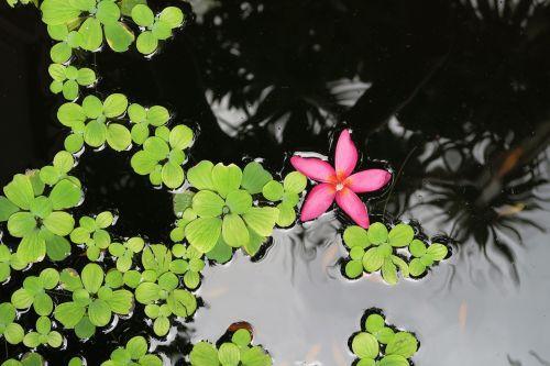 flower aquatic aquatic plant