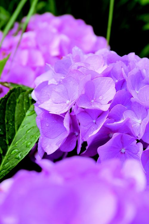 flower bloem hydrangea
