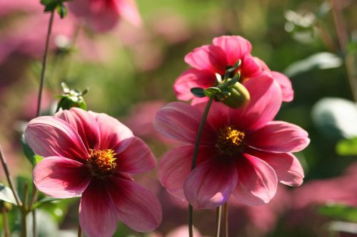 flower dahlia variety aragon