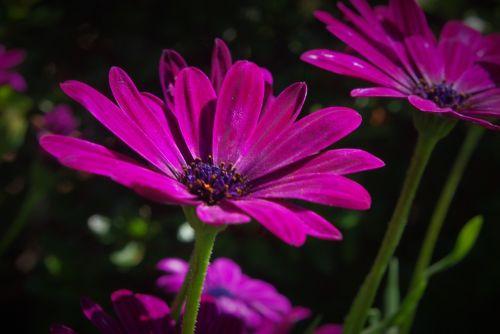 flower plant marguerite