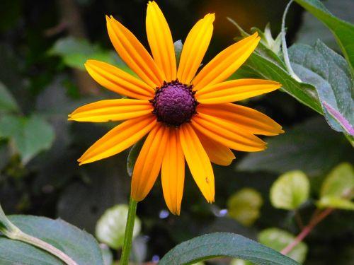 coneflower flower sun hat rudbeckia