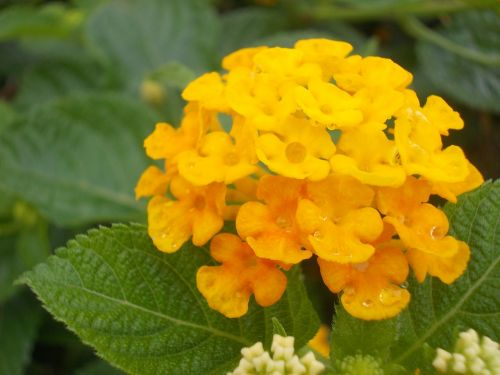 flower yellow lantana