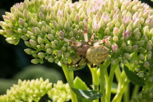flower spider macro