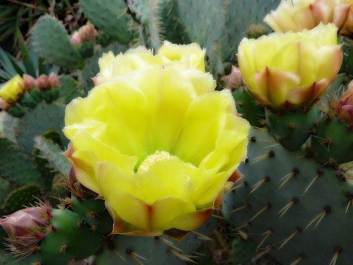 flower cactus fig
