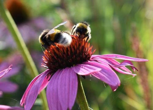 flower pink bumblebees