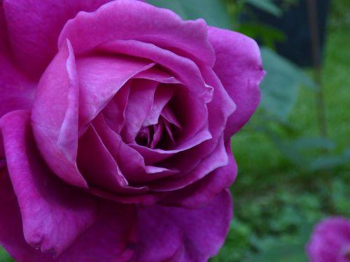 flower rosebush purple