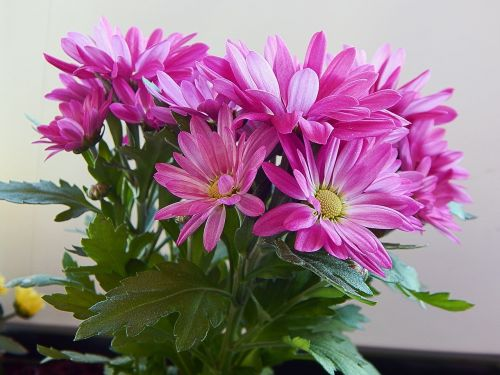 flower gerbera color
