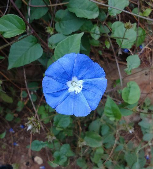 flower blue skyblue clustervine