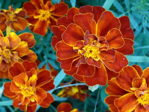 flower flowers orange