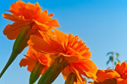 flower marigold blossom