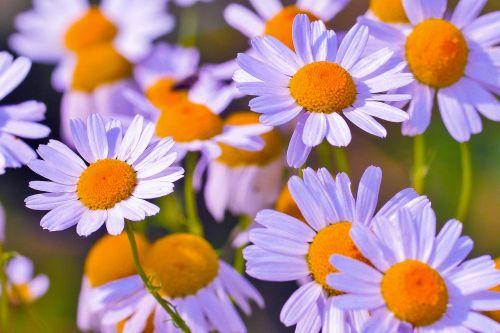 flower chamomile medicinal flower