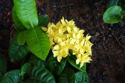 flower ixora jungle flame