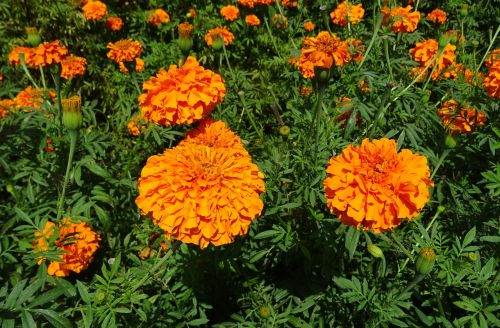 flower marigold orange