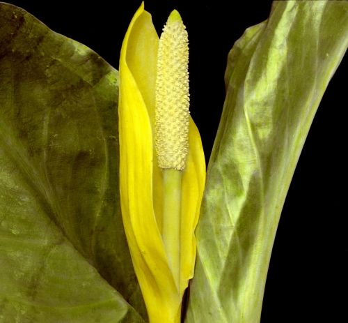 flower plant western skunk cabbage
