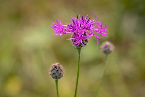 flower pointed flower wigs knapweed