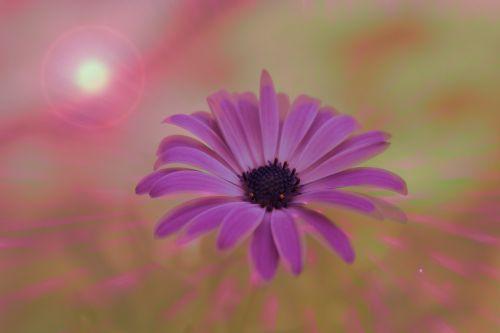 flower daisy colors