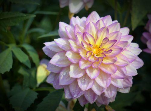 gėlė,dahlia,žiedas,žydėti,vasaros pabaigoje,sodas,augalas,žydėti