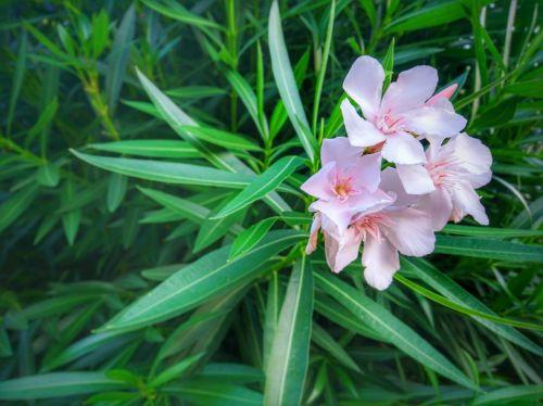 oleander flower green