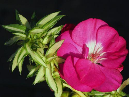 flower nutmeg balcony flowers