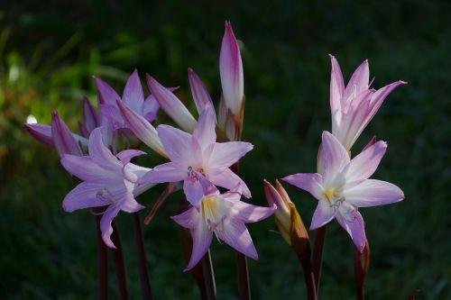 flower lily purple